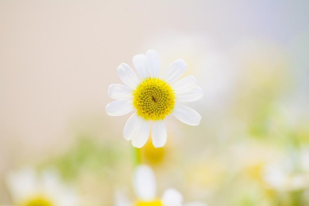White daisey small